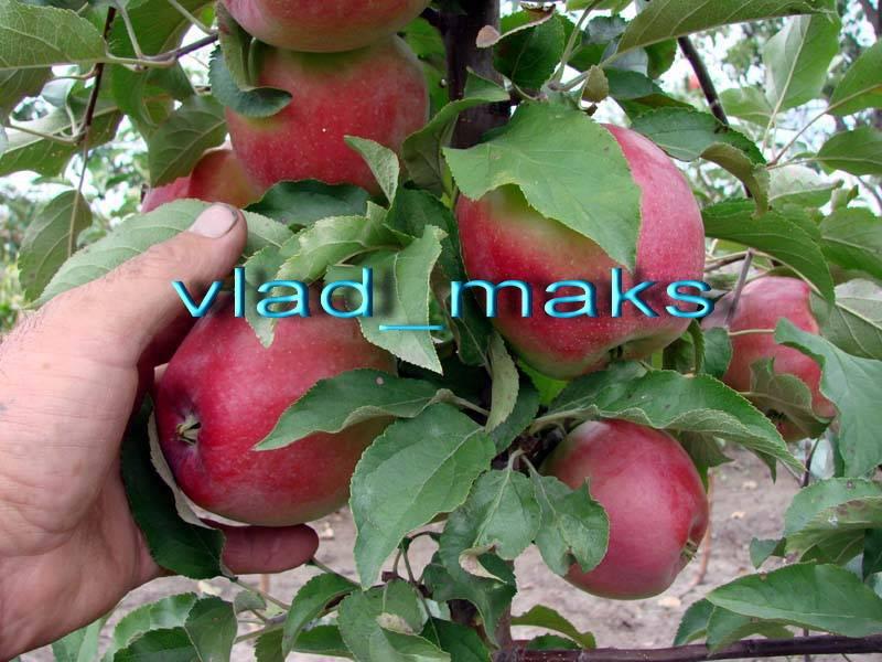 Используются технологии.  Лигол (урожай на 2 год - подвой 62-396). uCoz.